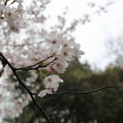 ゲン頭渚公園の桜